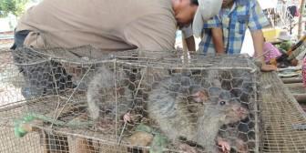 El país donde la carne de rata es un gran negocio de exportación
