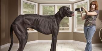 Muere Zeus, el perro más alto del mundo