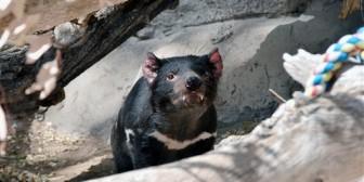 Matan al demonio de Tasmania en Nuevo México (Foto)