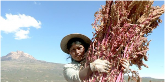 Cae exportación de quinua boliviana a EEUU, mientras Perú duplica sus ventas