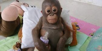 El bebé orangután que conmueve al mundo