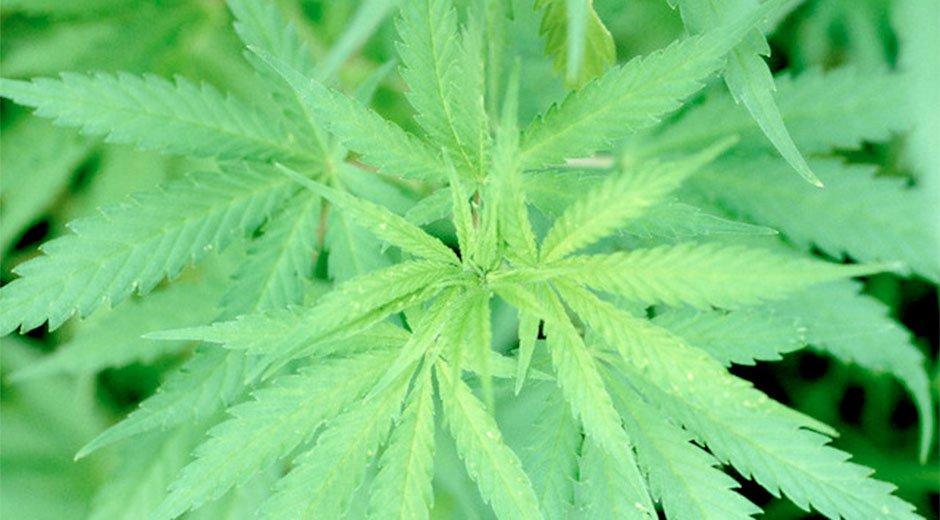 cannabis_2502