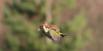 La historia tras la foto del pájaro carpintero transportando un bebé comadreja