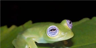 "Descubren la ""rana de cristal"" en Costa Rica"