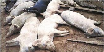 ¡Alerta! Un centenar de cerdos mueren tras comer maní