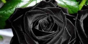Las increíbles rosas negras que crecen en Turquía