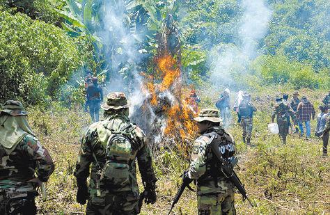 Interdicción. Policías antidrogas queman un cultivo de marihuana en el departamento de Cochabamba.