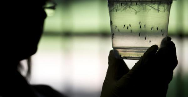 El virus zika y el dengue son transmitidos por el mosquito Aedes Aegypti