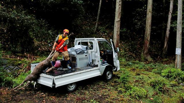 La cazadora Chiaki Kodama carga a un ciervo en su camioneta en Oi, prefectura de Fukui