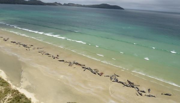 Una imagen aérea de las ballenas muertas en la playa (Departamento de Conservación de Nueva Zelanda via Reuters)