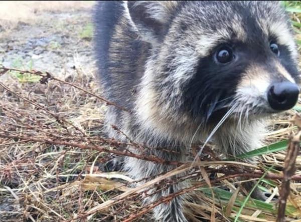 Un mapache deambulaba desorientado en Milton (Virginia Occidental) tras ingerir manzanas silvestres (Cortesía: Milton Police Department)