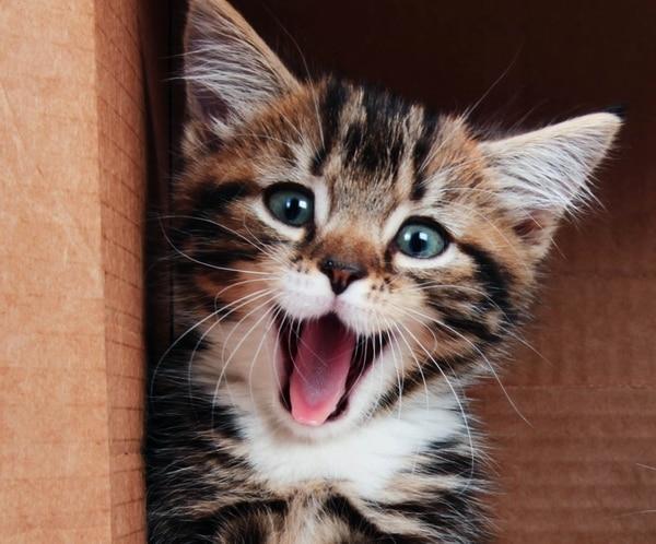 La textura de la lengua del gato ha sido siempre un misterio (Foto: iStock)