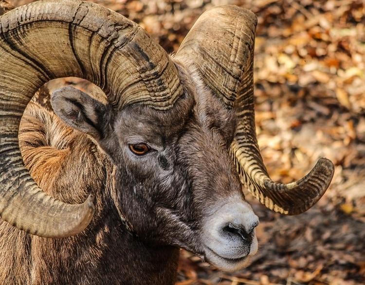 Entre los animales incautados, los agentes encontraron un borrego cimarrón (Foto: Pixabay)