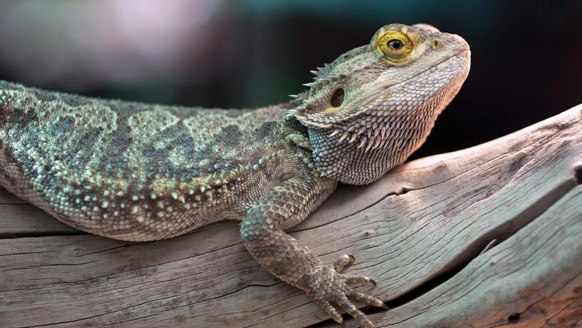 Someten a unos lagartos una dieta a base de apio y desmienten un mito sobre la alimentación sana
