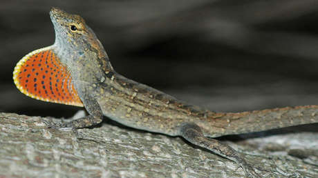 El lagarto de la especie Anolis sagrei.