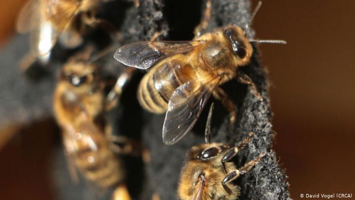 Aggressive Honigbiene (David Vogel (CRCA))