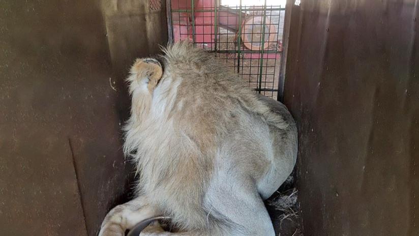 El triste negocio de las granjas-matadero de leones en Sudáfrica (FOTOS)