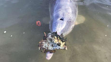 Un ingenioso delfín lleva regalos a los humanos a cambio de comida tras el levantamiento de la cuarentena en Australia (FOTOS)