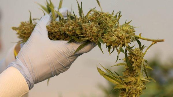 covid cannabis