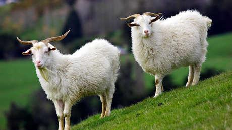 Científicos obtienen cabras genéticamente modificadas cuya leche incluye un fármaco que combate el cáncer
