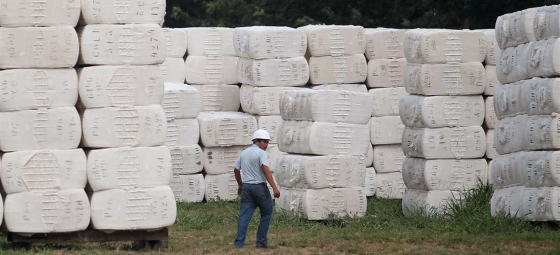 Los algodoneros reflejan una dura crisis económica por falta de mercado para su producción /Foto: Jorge Uechi