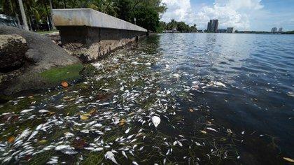 La muerte de los peces en la bahía fue fotografiada por los vecinos del lugar (@sendit4thesea)