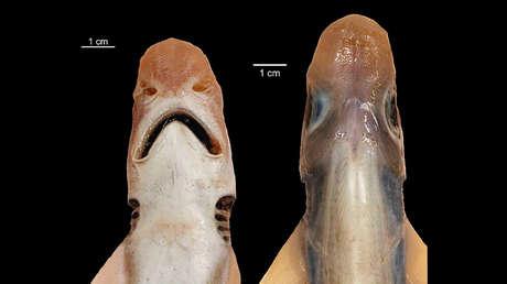 Un raro tiburón sin piel y sin dientes es capturado en aguas del Mediterráneo