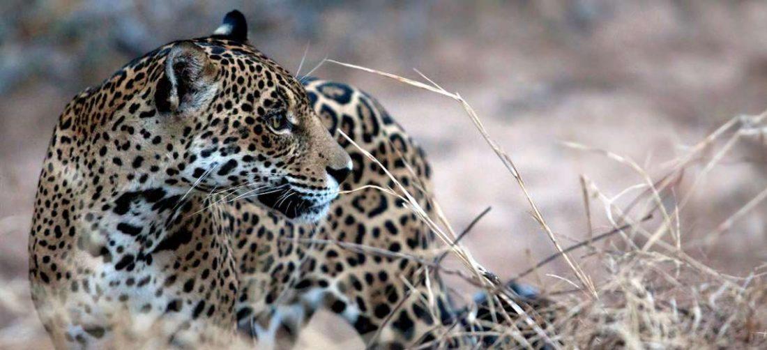 Jaguares en Bolivia: bajan incautaciones, crecen sospechas por nuevas modalidades de las m