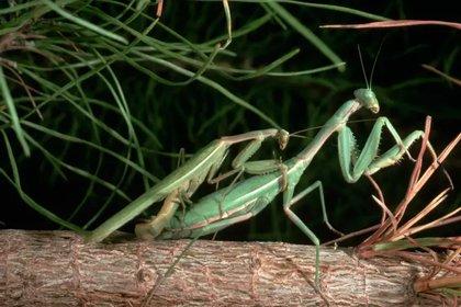 Los machos de la mantis han evolucionado para tratar de mantenerse vivos tras el apareamiento