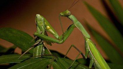 Las hembras mantis suelen devorar a los machos después del acto sexual.