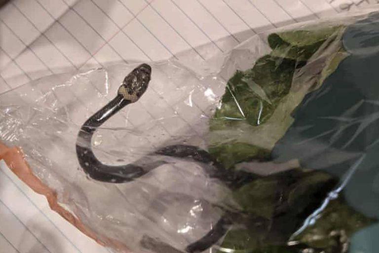 El ejemplar de serpiente cabeza pálida asomó entre dos plantas de lechuga que una pareja de Australia había comprado en un supermercado de la cadena ALDI