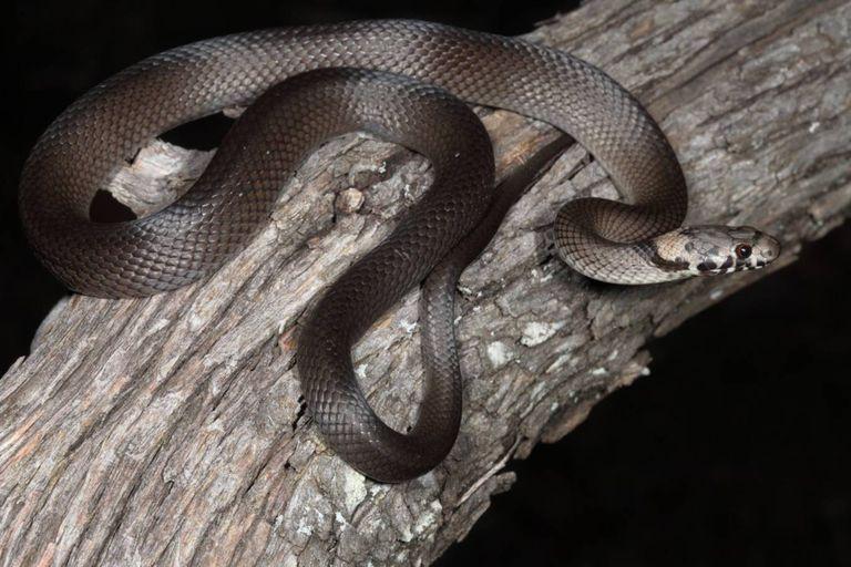 La serpiente cabeza pálida hallado por la pareja de Sidney tenía apenas 20 centímetros por tratarse de un ejemplar joven, pero de adulto, este ofidio puede llegar a medir casi un metro de longitud