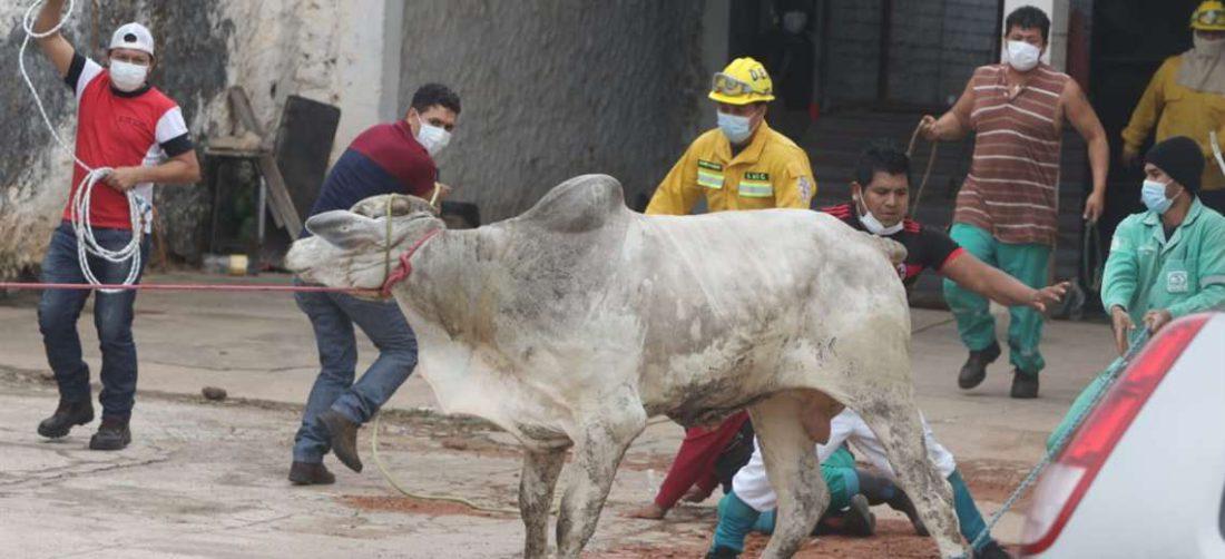 Foto Ricardo: las 17 vacas fueron capturadas, dos de ellas muertas.