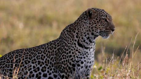 Un fotógrafo capta a un leopardo perfectamente camuflado entre el paisaje y la Red se lanza a buscarlo (FOTO)
