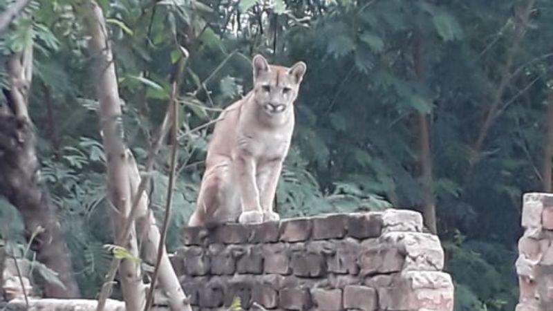 En Villa Montes rescatan a un puma que era tratado como mascota por una familia
