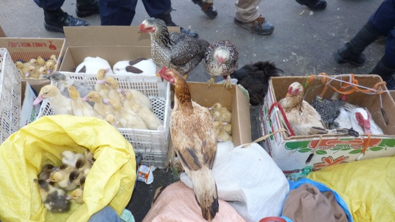 Venta de animales en el mercado La Pampa. ARCHIVO