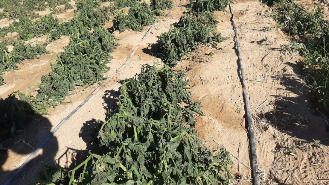 Sembradíos de tomate afectados por la helada, en el Cono Sur de Cochabamba.