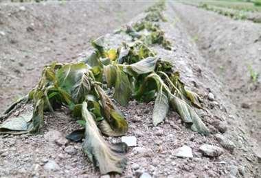 Los cultivos fueron afectados por la helada (imagen referencial/internet)