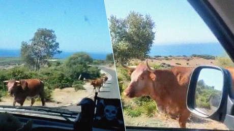 """""""Perdona, ¿para Bolonia?"""": un conductor le pregunta el camino a una vaca y la reacción del animal no tiene precio (VIDEO)"""