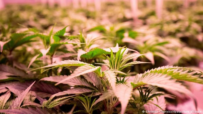 Deutschland | Aphria Plantage für Cannabis-Heilpflanzen