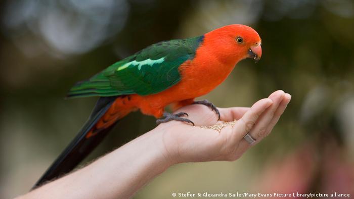 La mayoría de los ejemplos documentados de cambio de forma son de aves, concretamente con el aumento del tamaño del pico. Los loros liberan calor a través de su pico y sus garras.