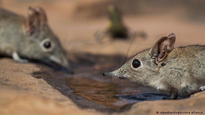 Los apéndices de los mamíferos también están aumentando de tamaño. Por ejemplo, en la musaraña enmascarada, la longitud de la cola y de las patas ha aumentado considerablemente desde 1950, aseguraron los investigadores.
