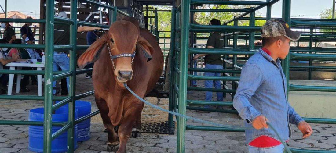 Serán los 400 cebuinos en exhibición en Expocruz. Foto: Asocebú