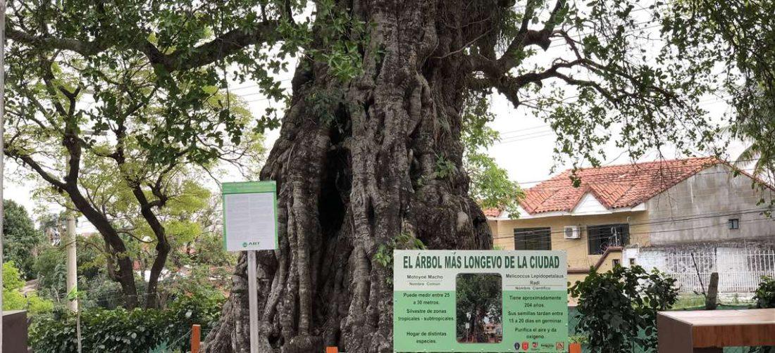 El árbol más antiguo de Santa Cruz es un motoyoé