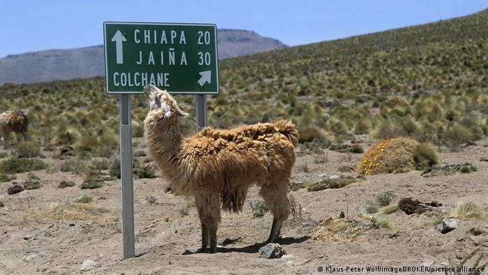 Llama en el desierto del norte de Chile