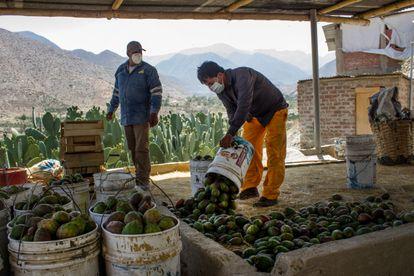 En Llaca Llaca, los agricultores limpian las espinas de las tunas de forma artesanal con escobas de paja.