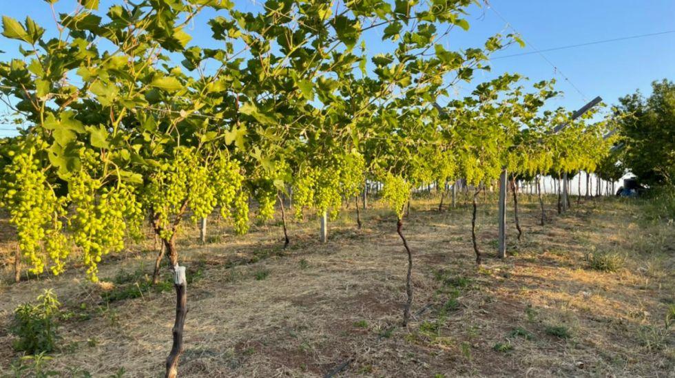 Chaco: La falta de agua frena ampliación de cultivos de vid