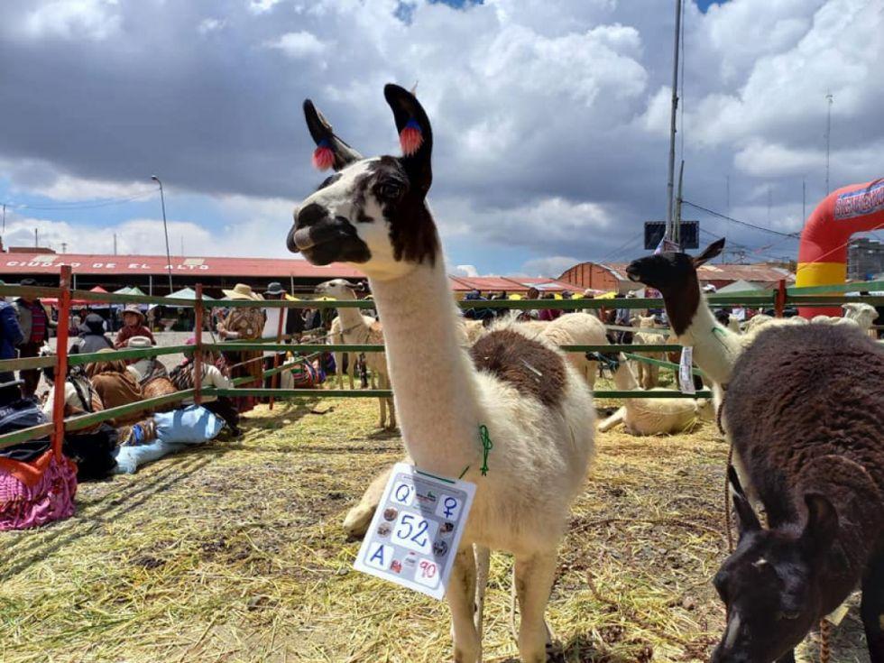Productores tarijeños de camélidos participan en Feria Nacional