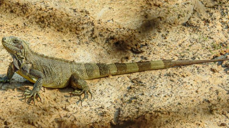 Iguana iguana Fabian Beltran